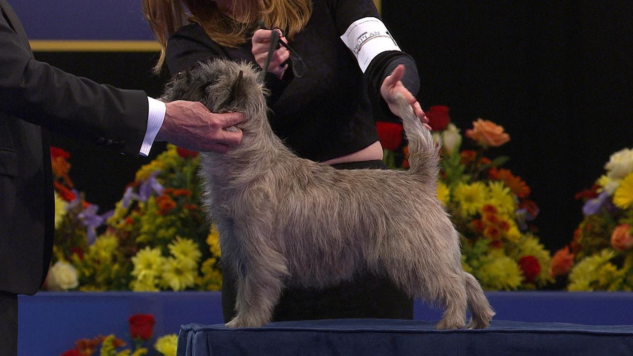 Terrier Group: Cairn Terrier | NBC Sports