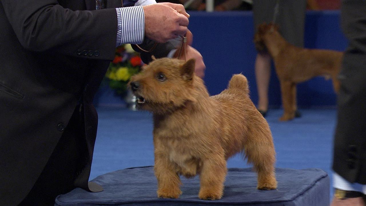 Terrier Group: Norwich Terrier | NBC Sports