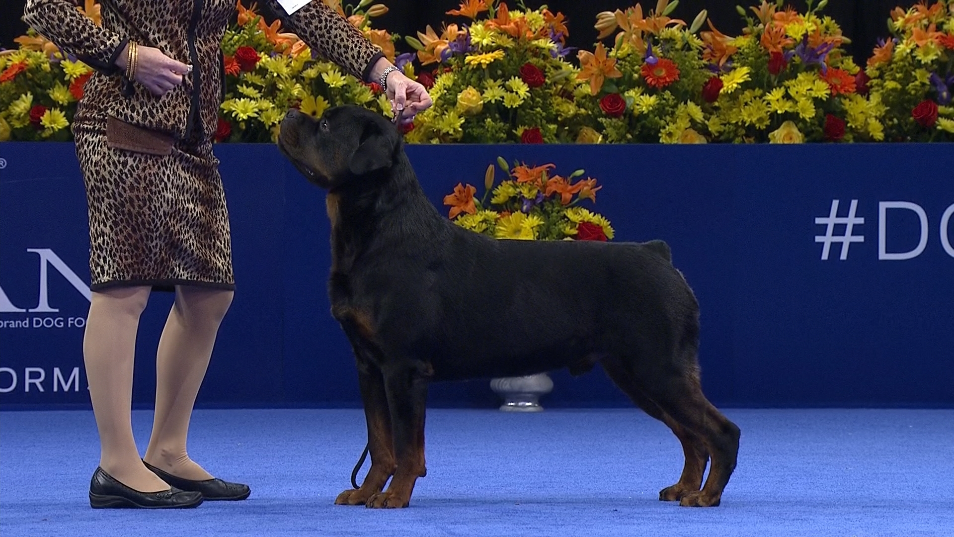 2016 national dog show rottweiler working group nbc sports