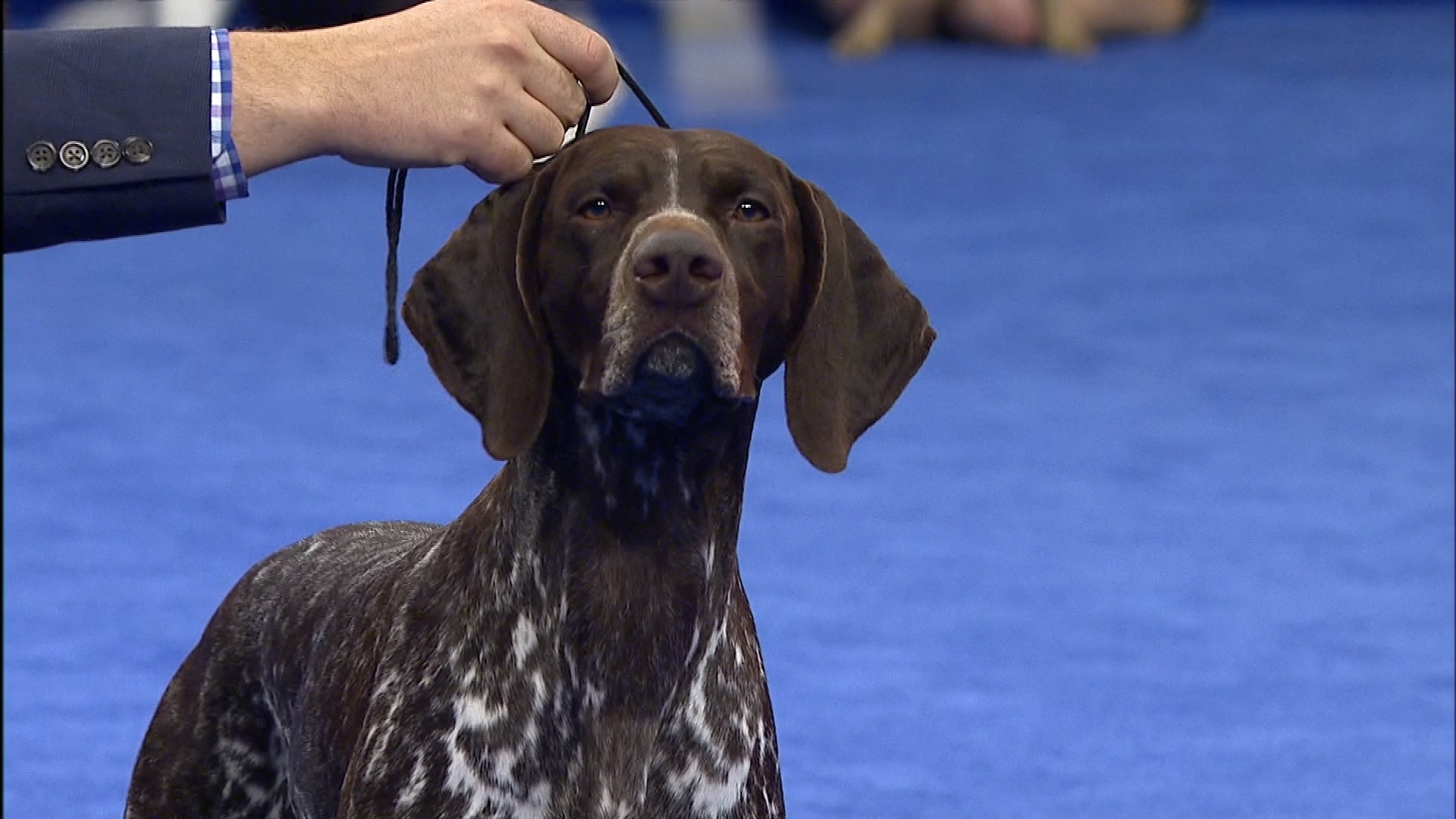 2016 National Dog Show German Shorthaired Pointer Sporting Group
