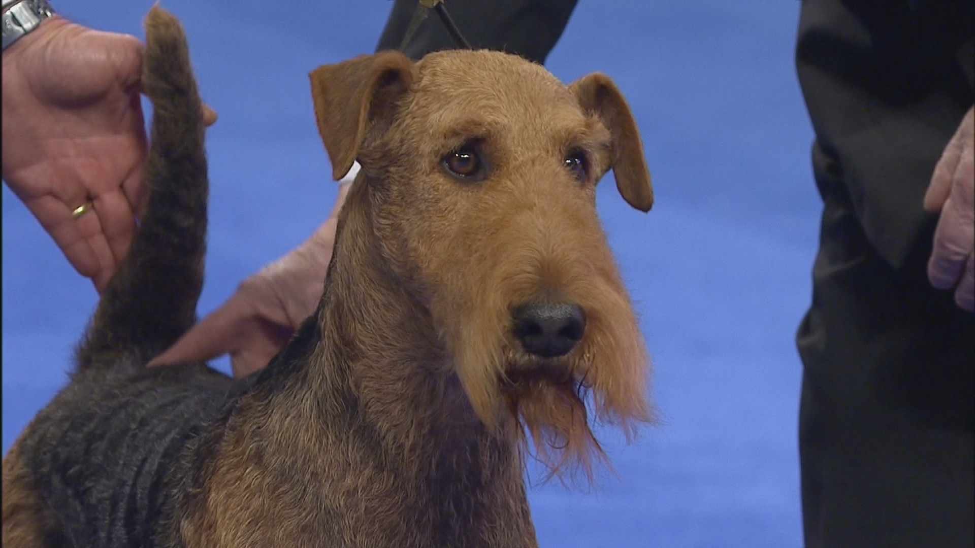 National Dog Show Terrier Group