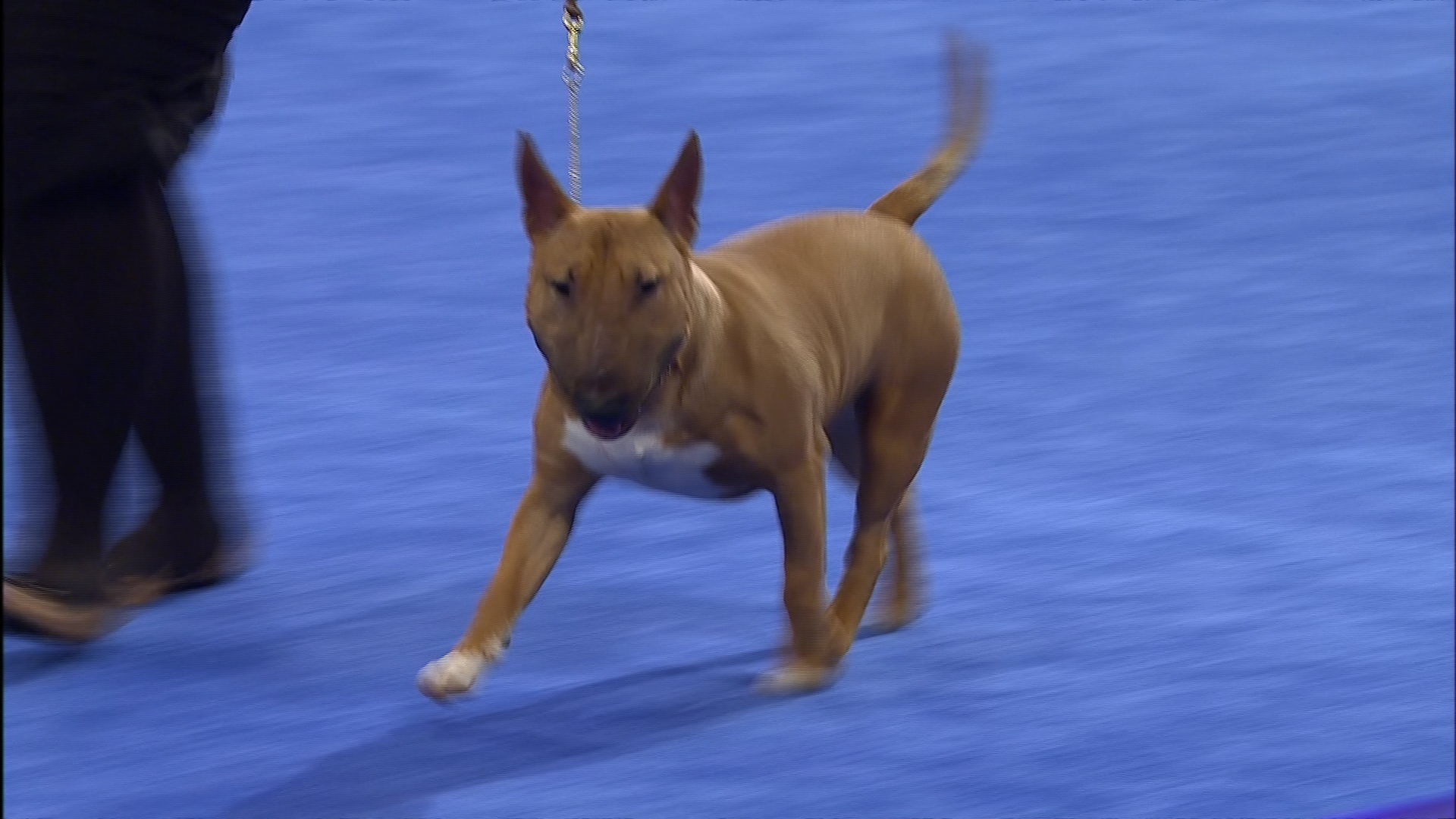 National Auto Group >> 2016 National Dog Show-Miniature Bull Terrier ,Terrier Group   NBC Sports