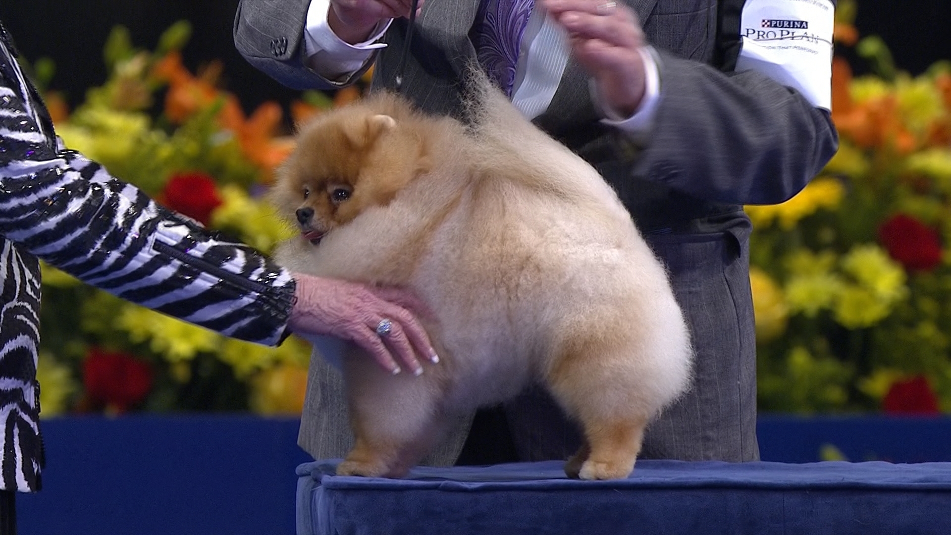 Pomeranian Toy Group At 2016 National Dog Show Nbc Sports