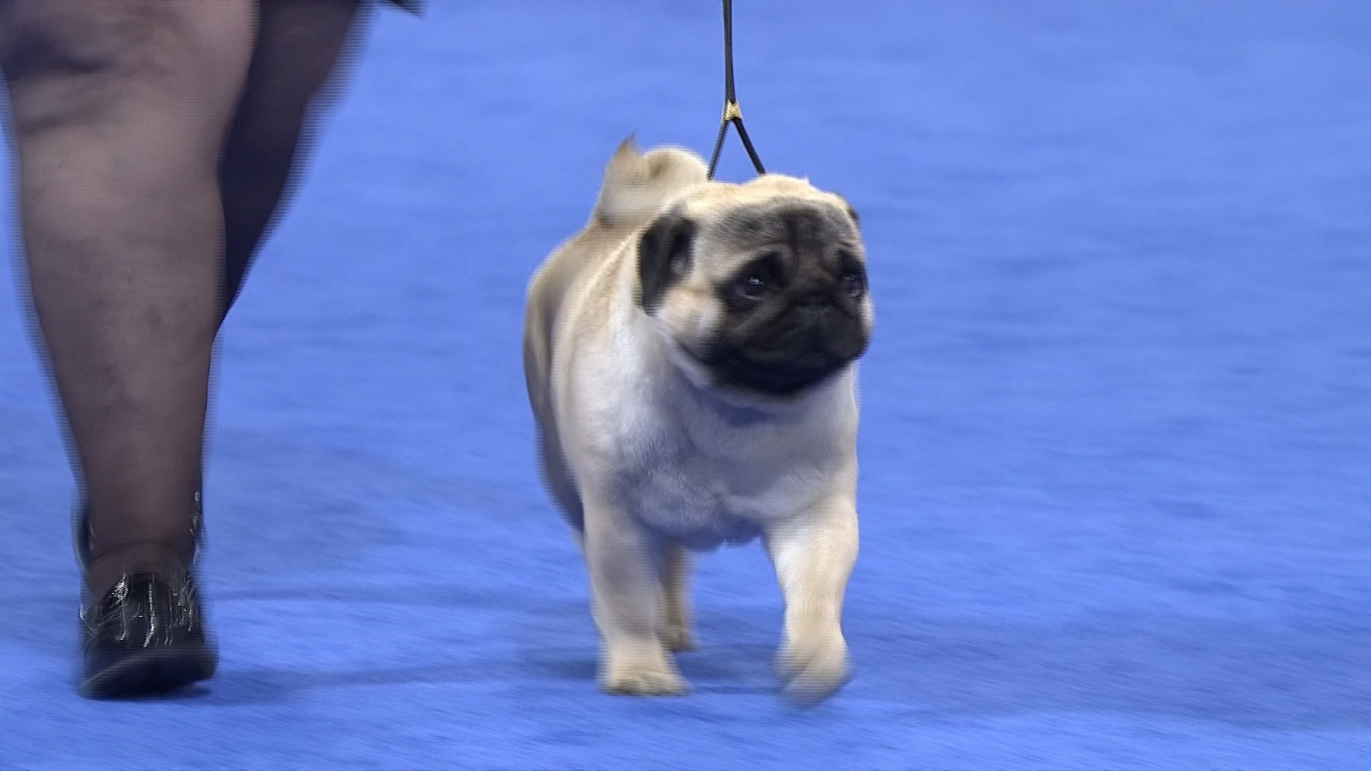 Pug Toy Group At 2016 National Dog Show Nbc Sports