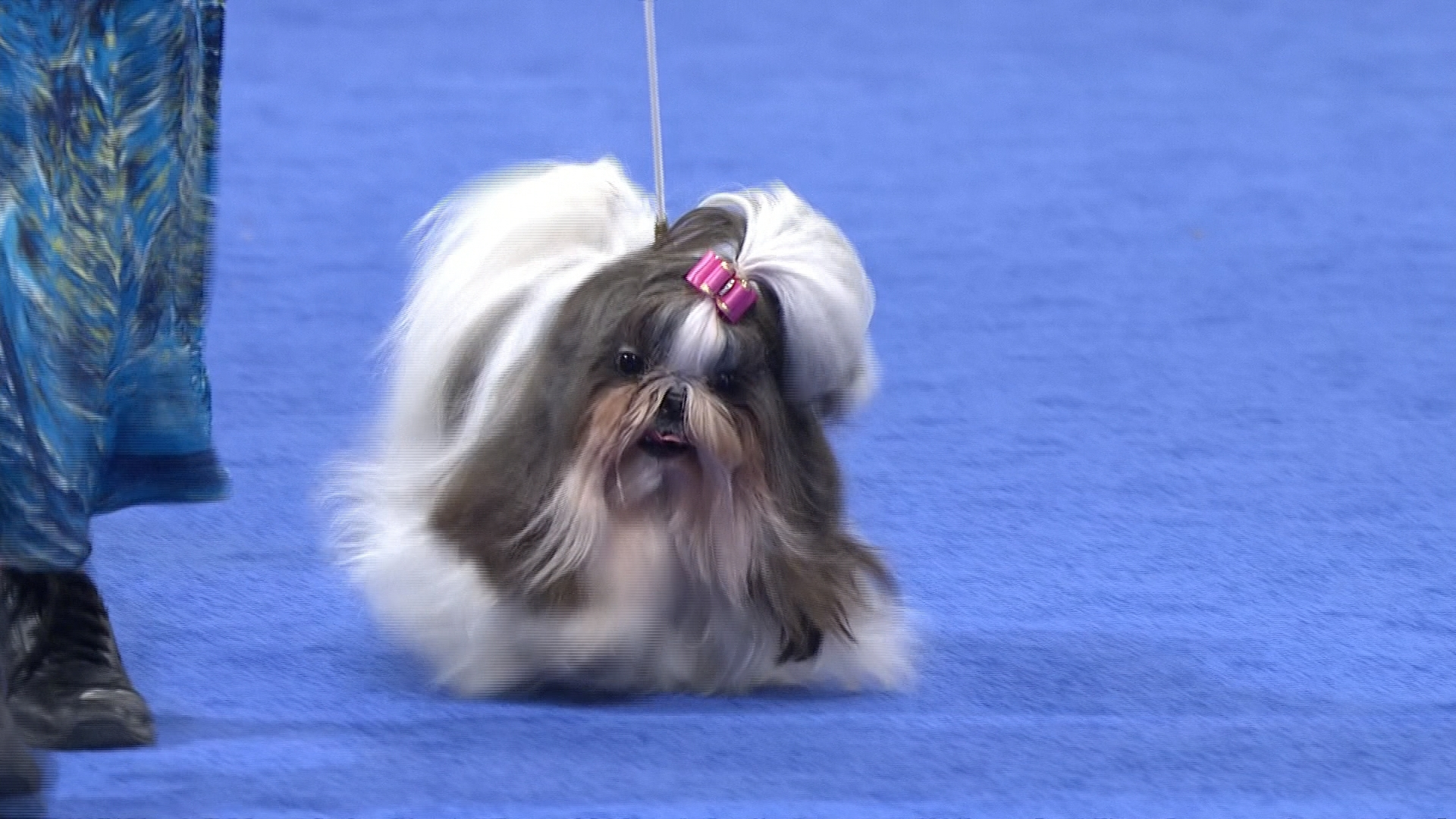 2016 National Dog Show Shih Tzu Toy Group Nbc Sports
