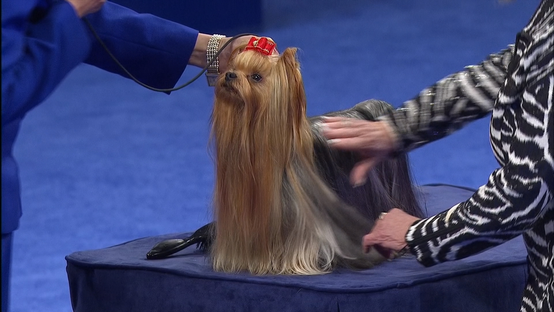 2016 National Dog Show Yorkshire Terrier Toy Group Nbc Sports