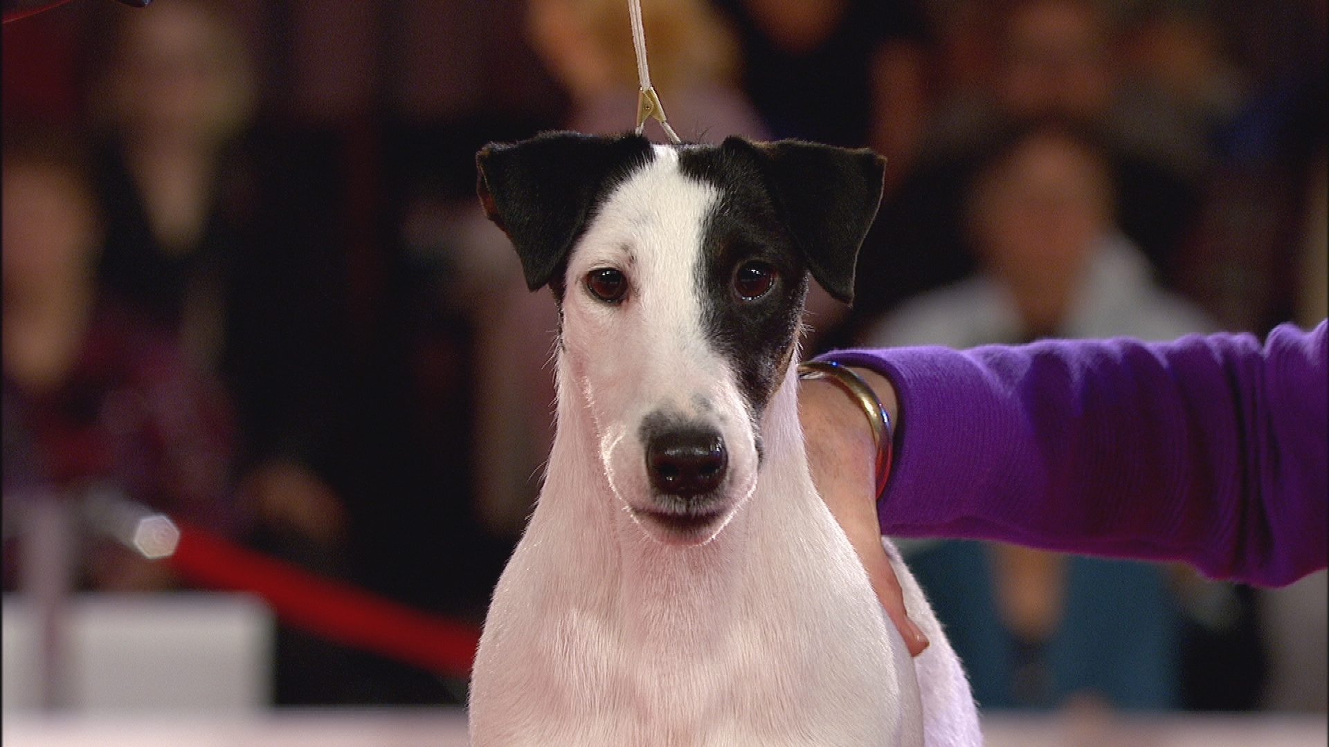smooth fox terrier breeders 2017 beverly hills dog show smooth fox terrier terrier 366