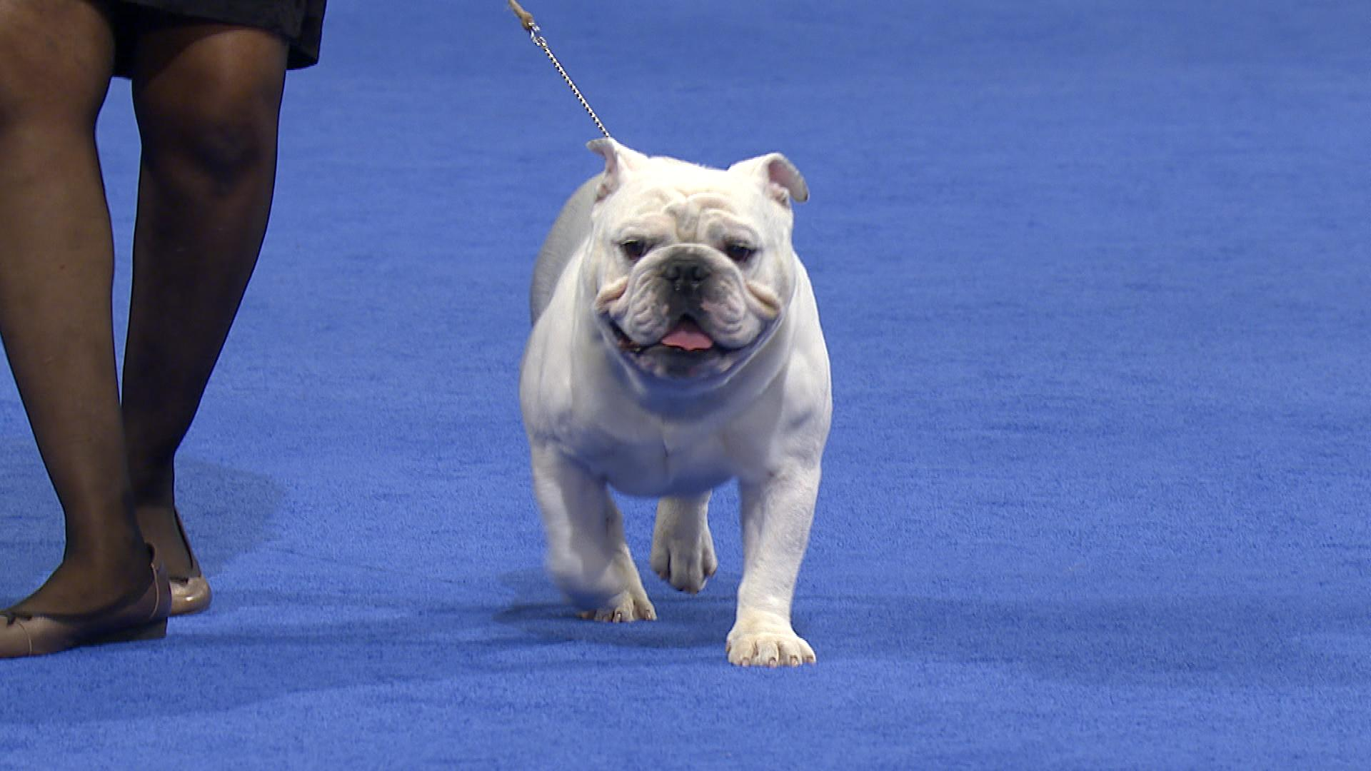 national dog show bulldog 2017 non sporting group nbc sports