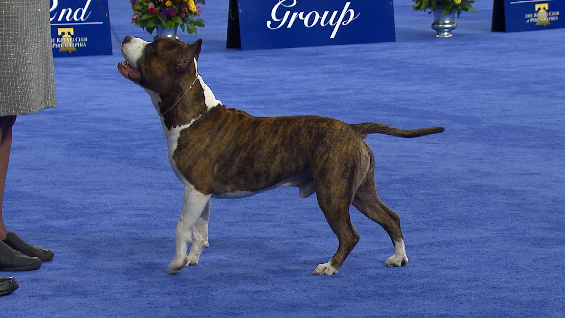 national dog show american staffordshire terrier 2017 terrier