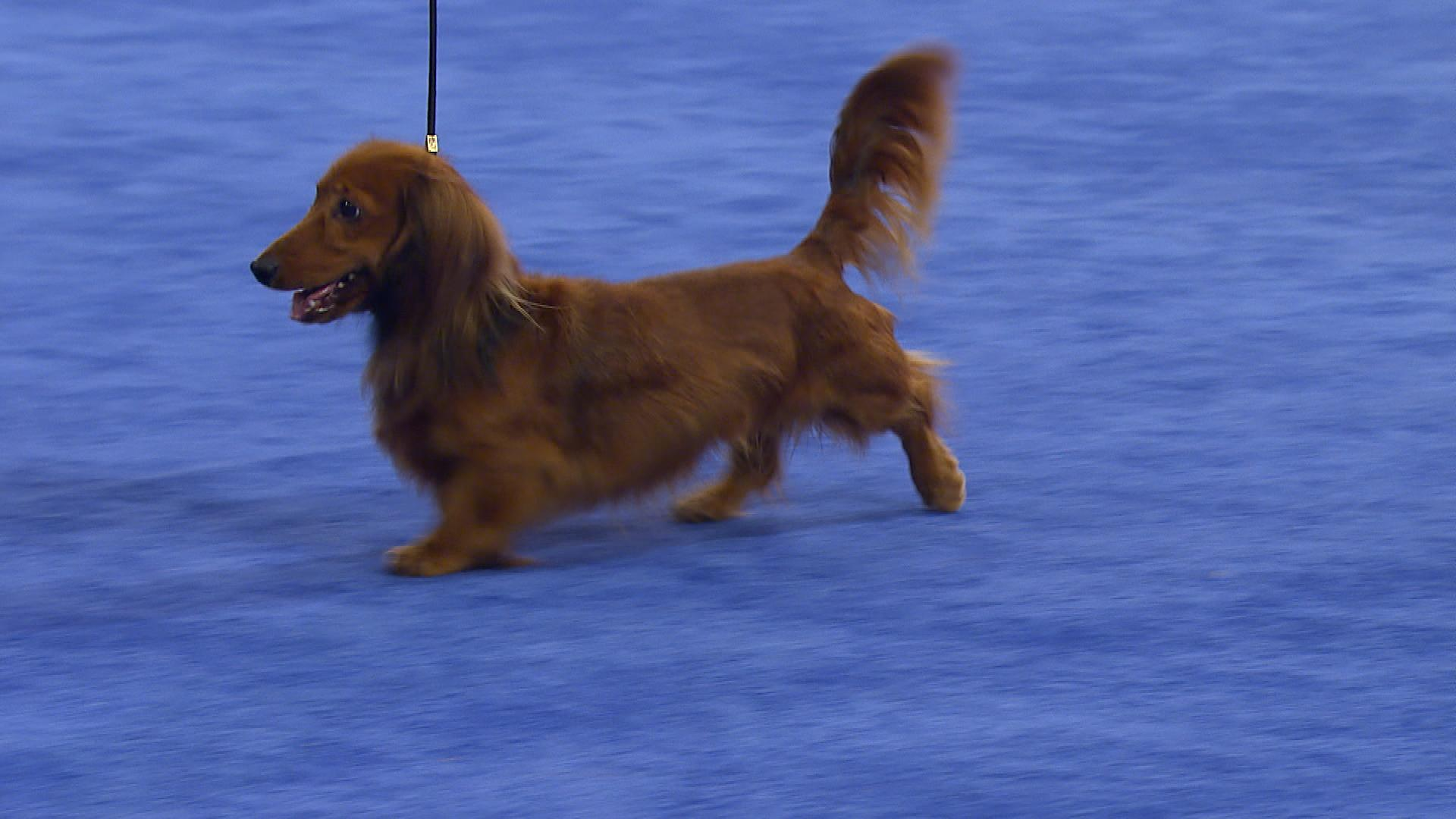 national dog show daschund longhaired 2017 hound group nbc sports