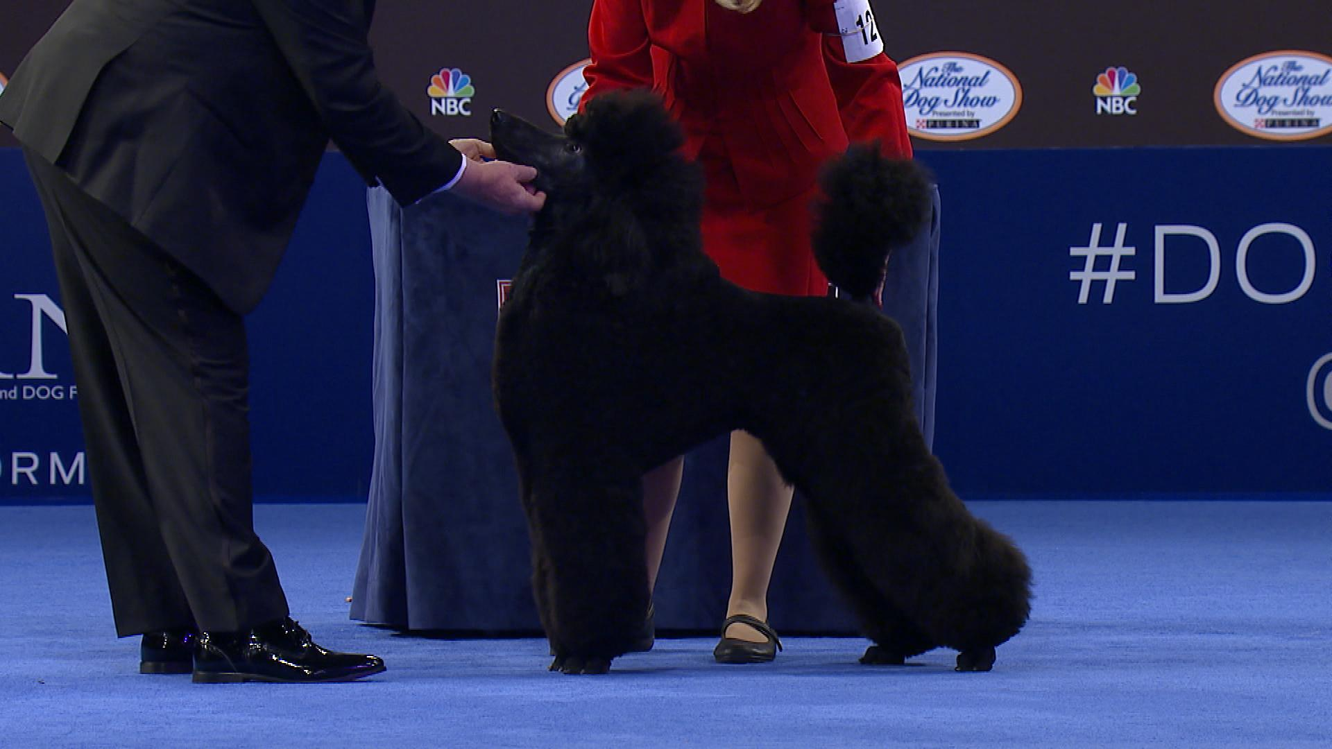 National Dog Show Poodle Standard 2017 Non Sporting Group