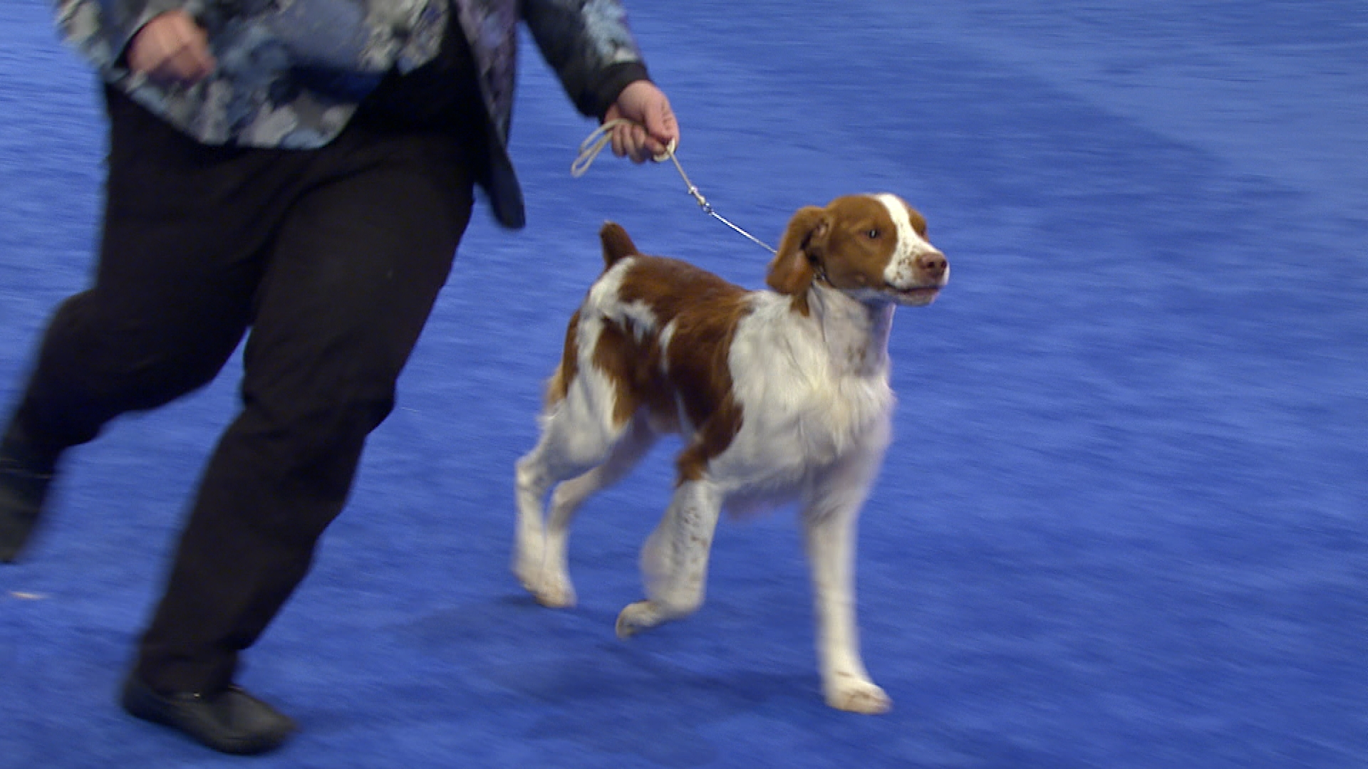 National Dog Show- Brittany, 2017 Sporting Group | NBC Sports