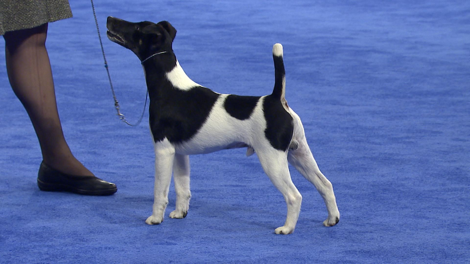smooth fox terrier breeders did she say quotcheesequot fox terrier t 7794