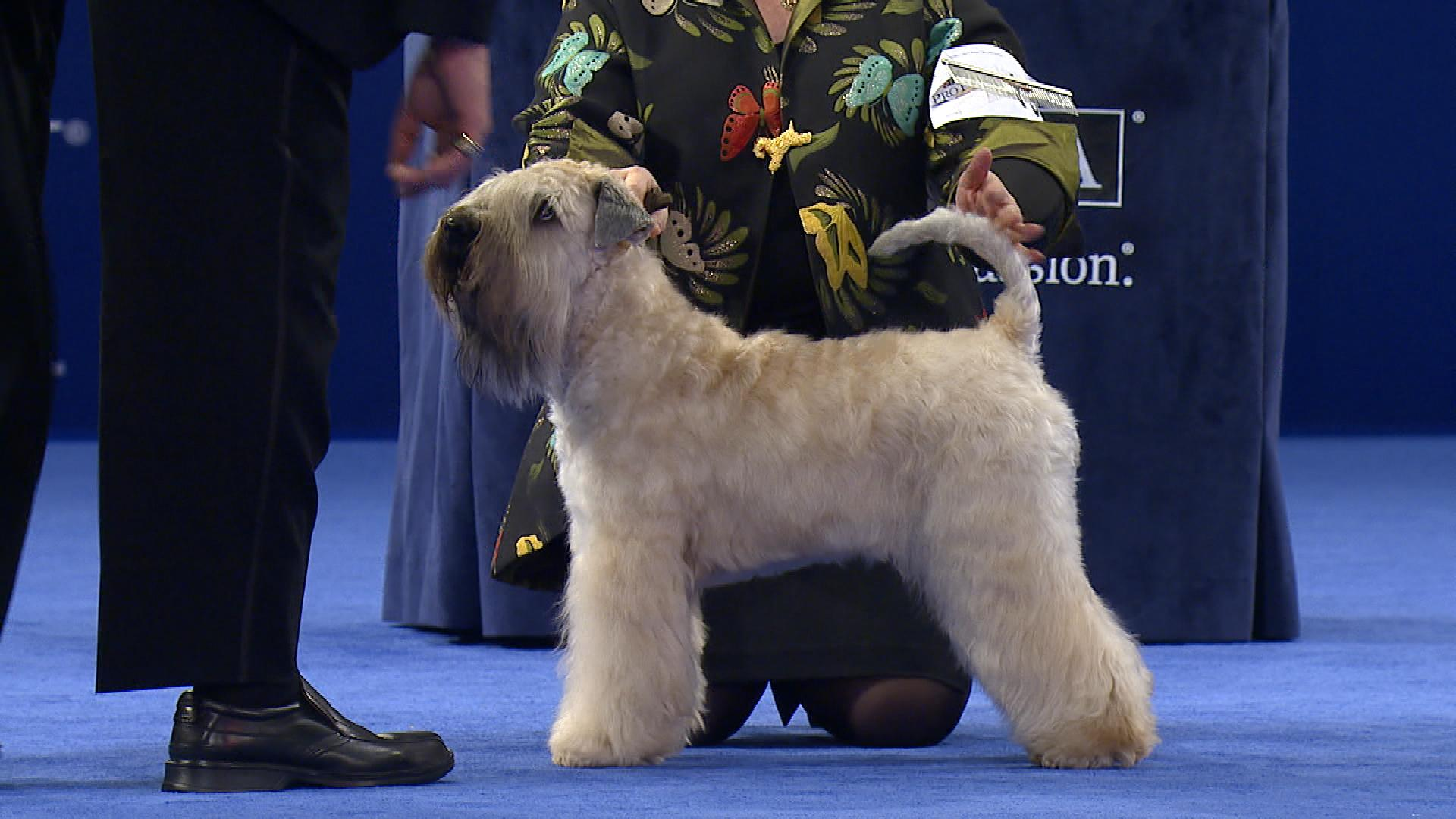 National Dog Show Soft Coated Wheaten Terrier 2017 Group Nbc Sports