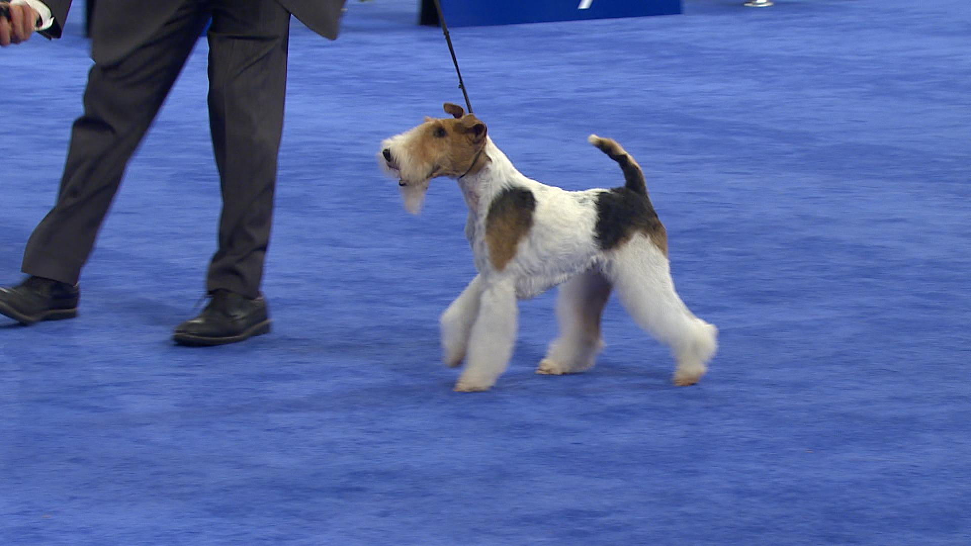 National Dog Show- Wire Fox Terrier, 2017 Terrier Group | NBC Sports