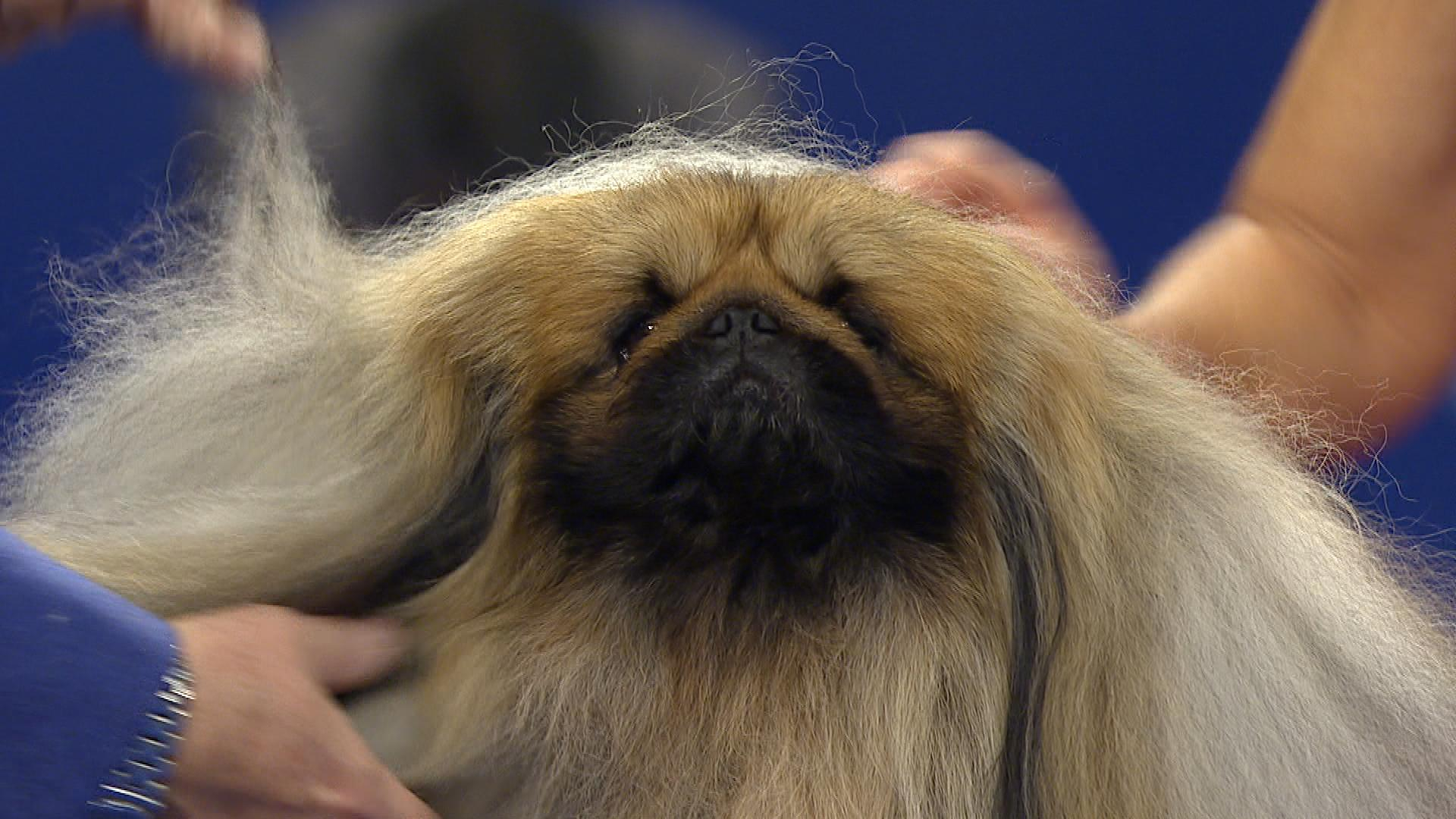 Discussion on this topic: Pekingese Wins Best in Show at the , pekingese-wins-best-in-show-at-the/