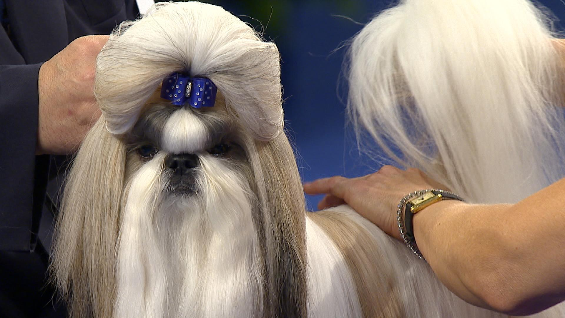 National Dog Show Shoh Tzu
