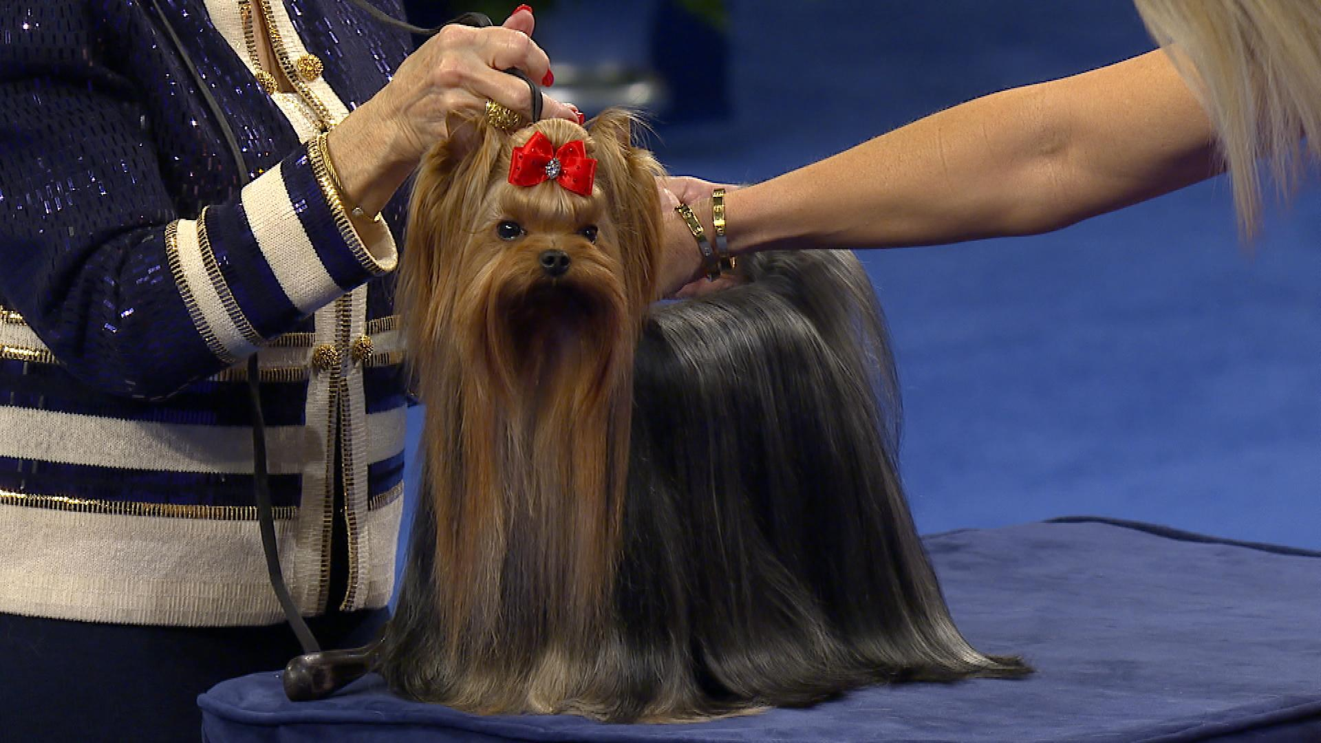 National Dog Show Yorkshire Terrier 2017 Toy Group Nbc Sports