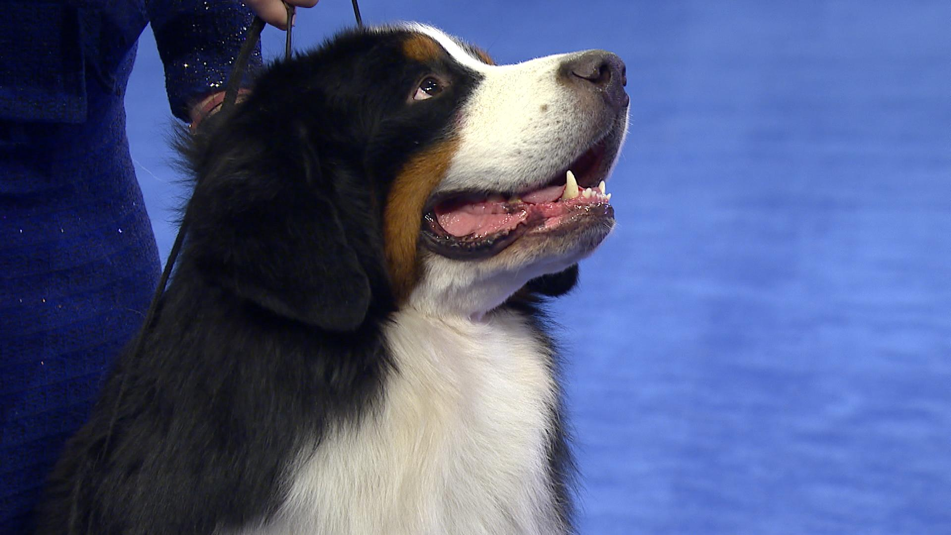 National Dog Show Bernese Mountain Dog 2017 Working Group