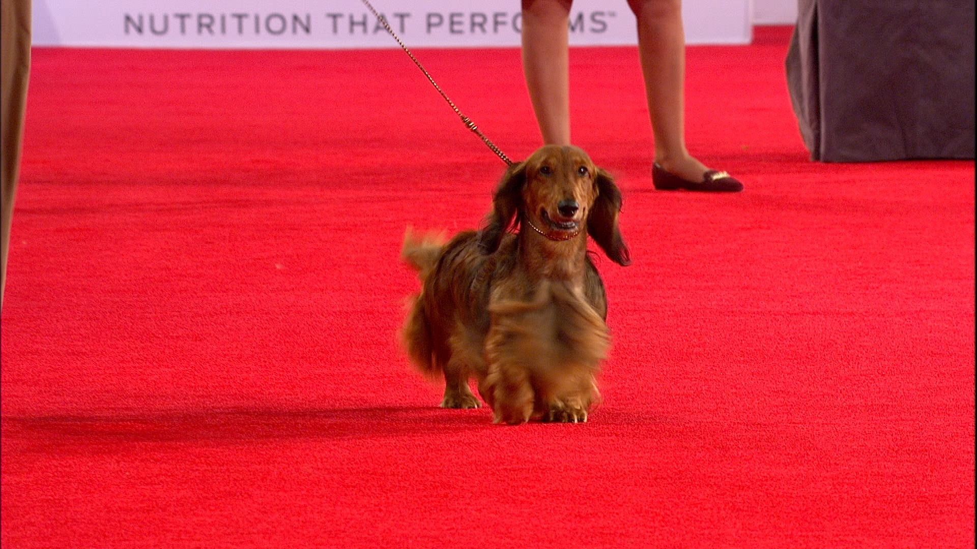 beverly hills dog show dachshund longhaired 2018 hound group nbc