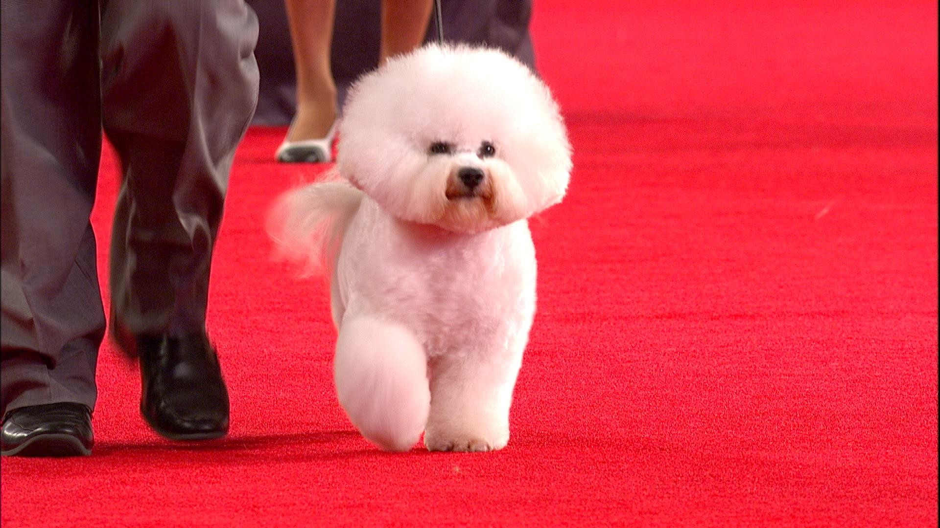 beverly hills dog show bichon frise 2018 non sporting group nbc sports