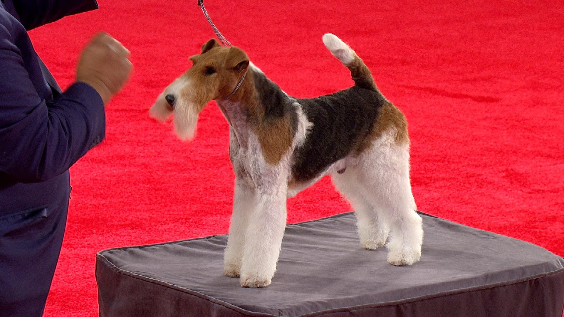 Beverly Hills Dog Show- Wire Fox Terrier 2018 Terrier Group   NBC Sports