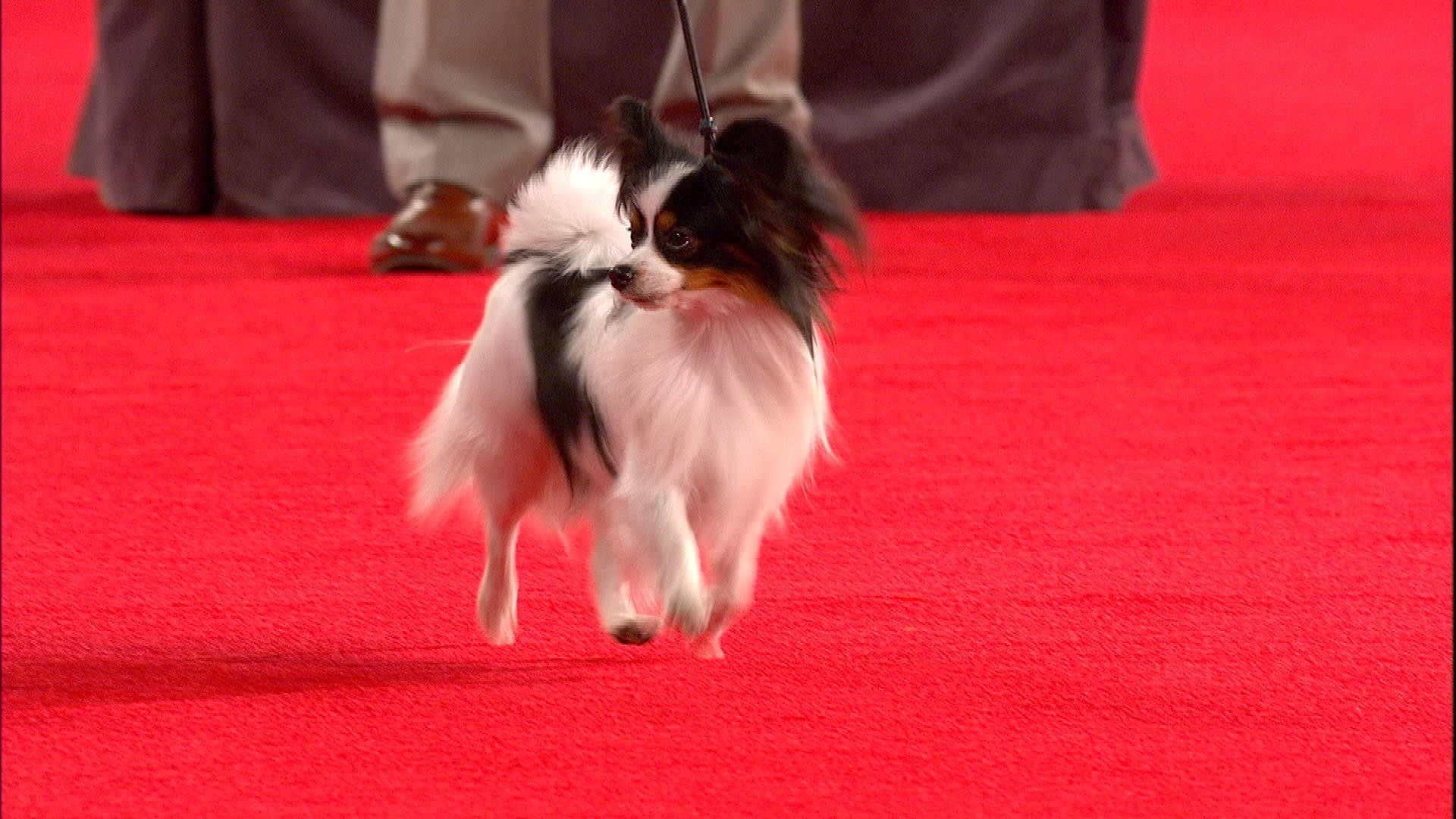 Beverly Hills Dog Show Papillon 2018 Toy Group Nbc Sports