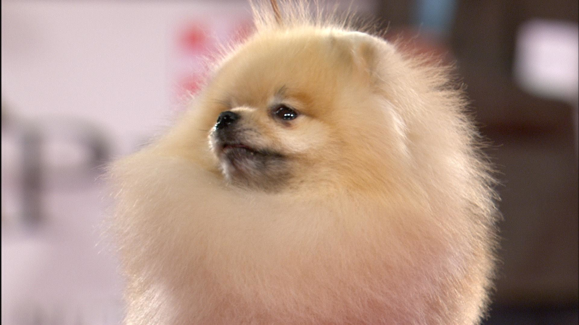 Beverly Hills Dog Show Pomeranian 2018 Toy Group Nbc Sports