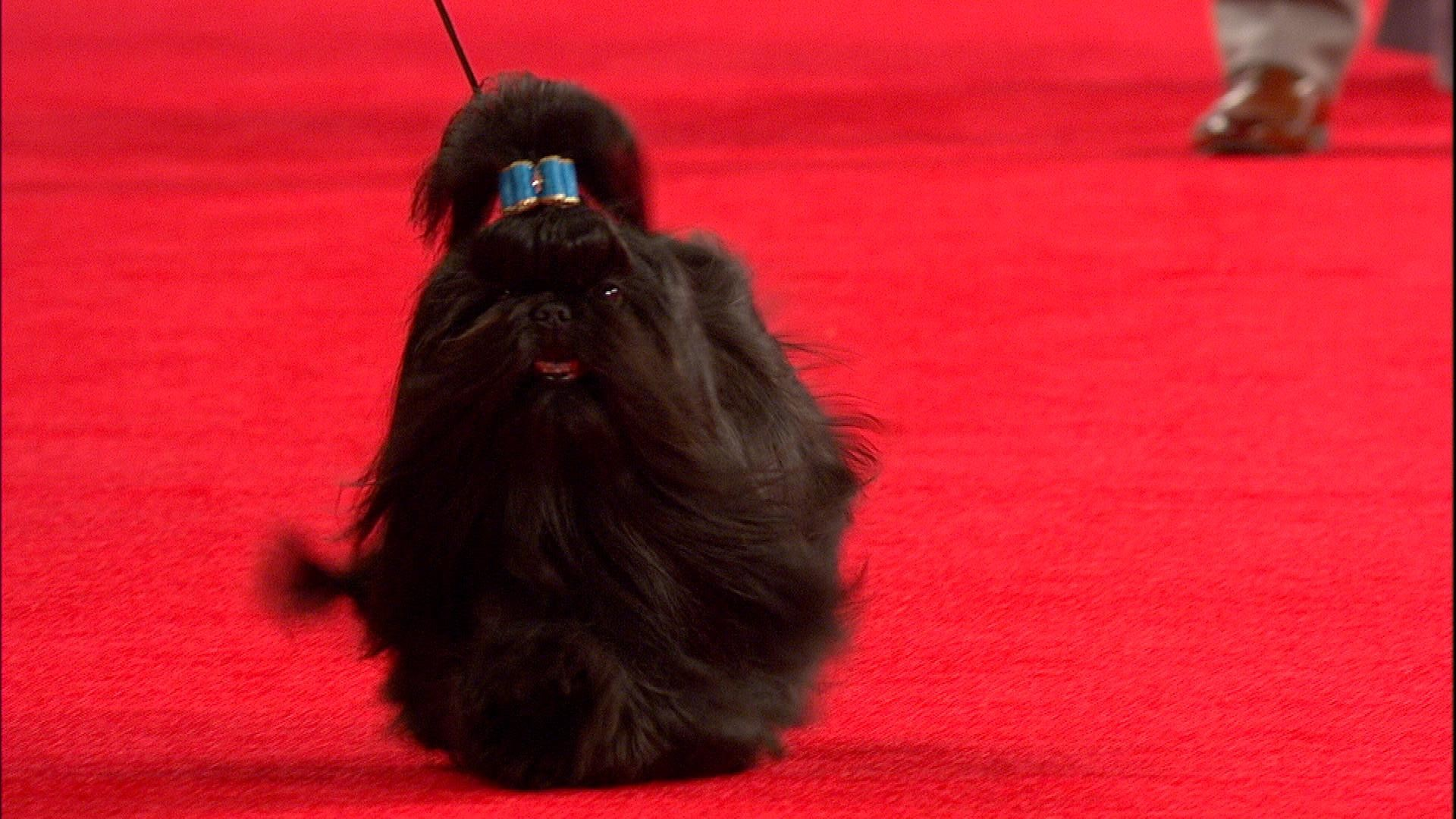 Beverly Hills Dog Show Shih Tzu 2018 Toy Group Nbc Sports
