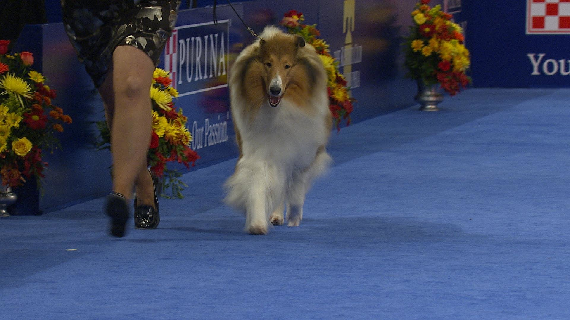 collie rough 2018 national dog show herding group nbc sports