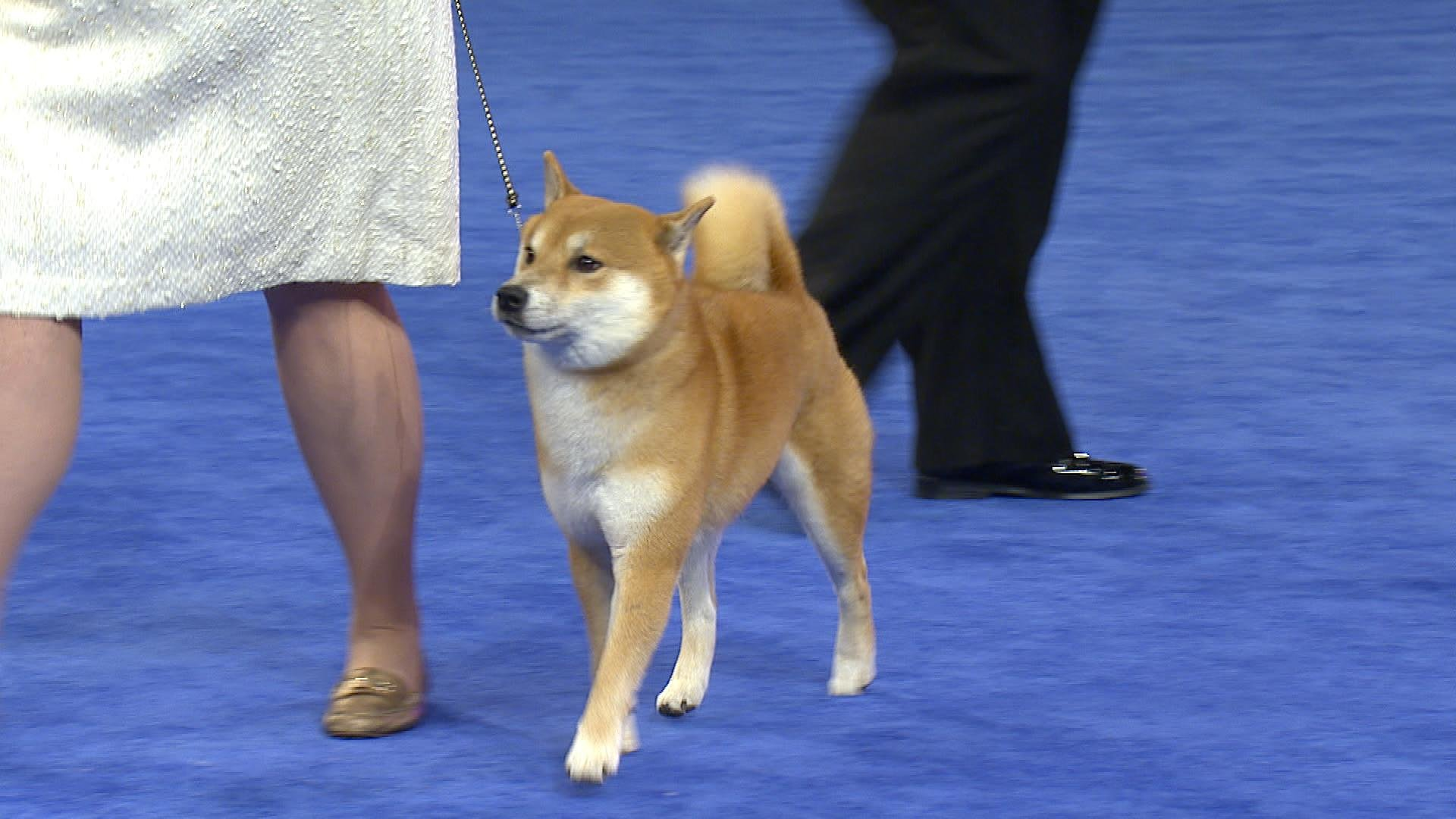 Shiba Inu, 2018 National Dog Show, Non-Sporting Group | NBC