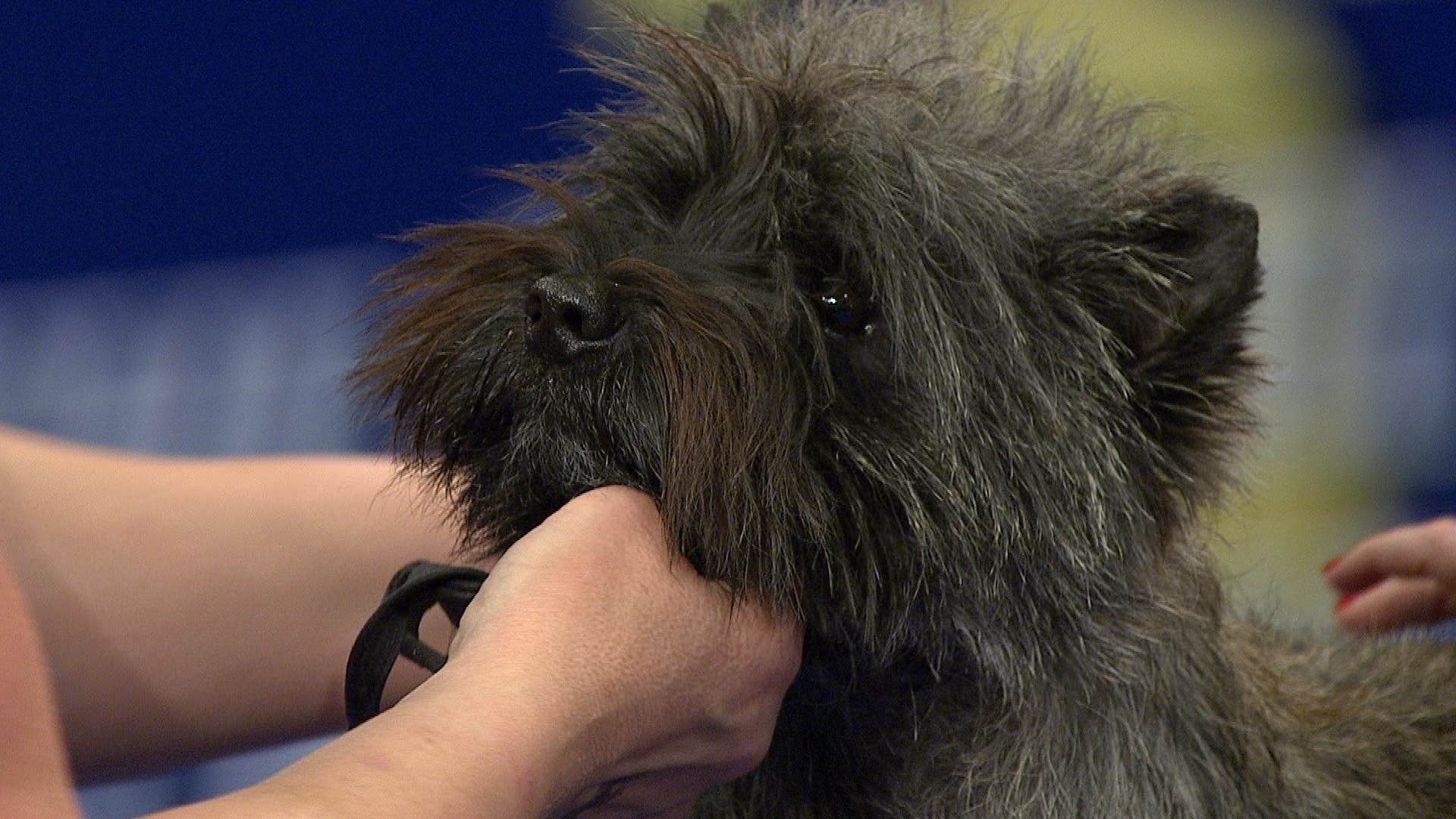 Cairn Terrier, 2018 National Dog Show, Terrier Group | NBC Sports