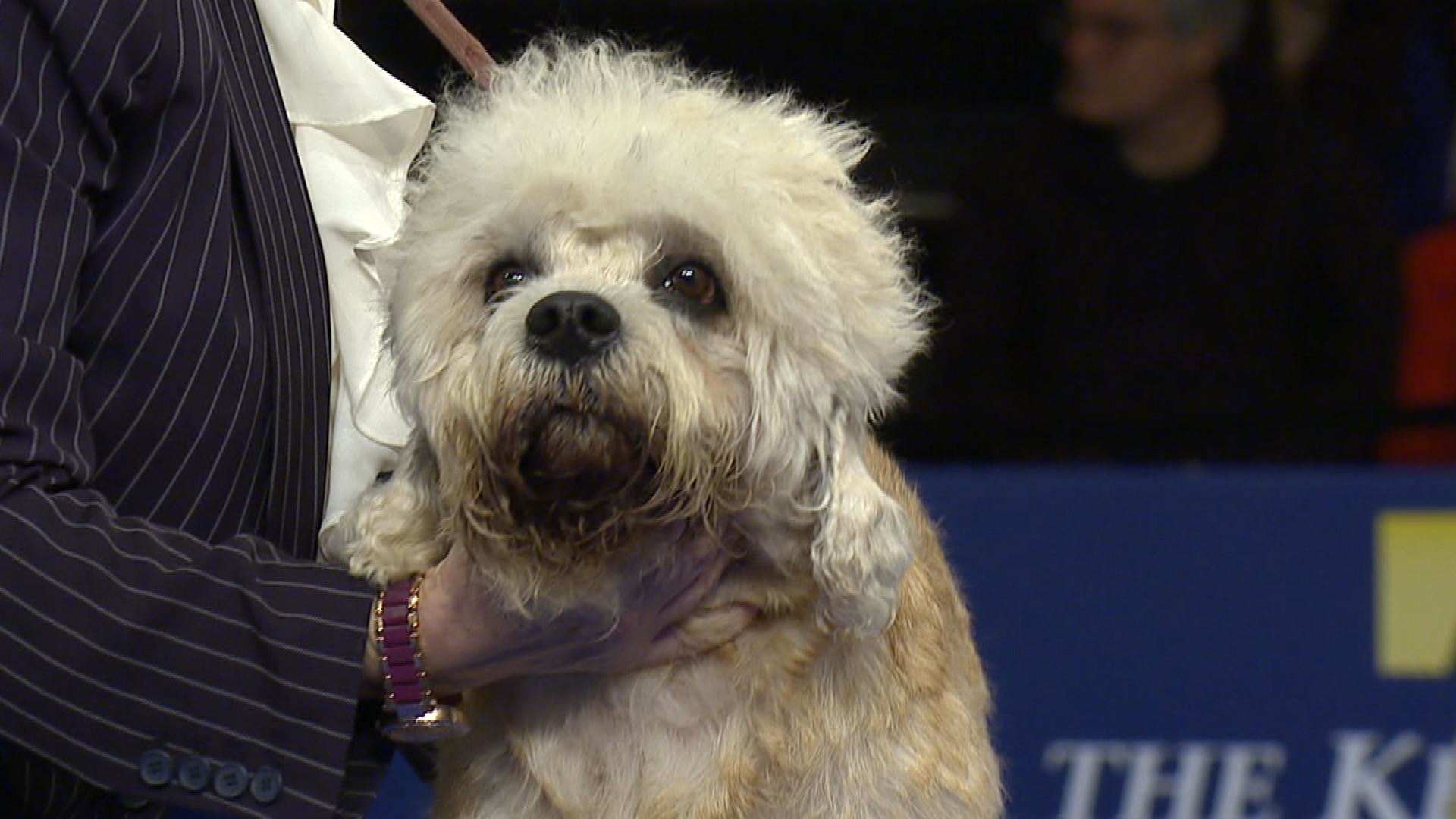 dandie dinmont terrier 2018 national dog show terrier group nbc