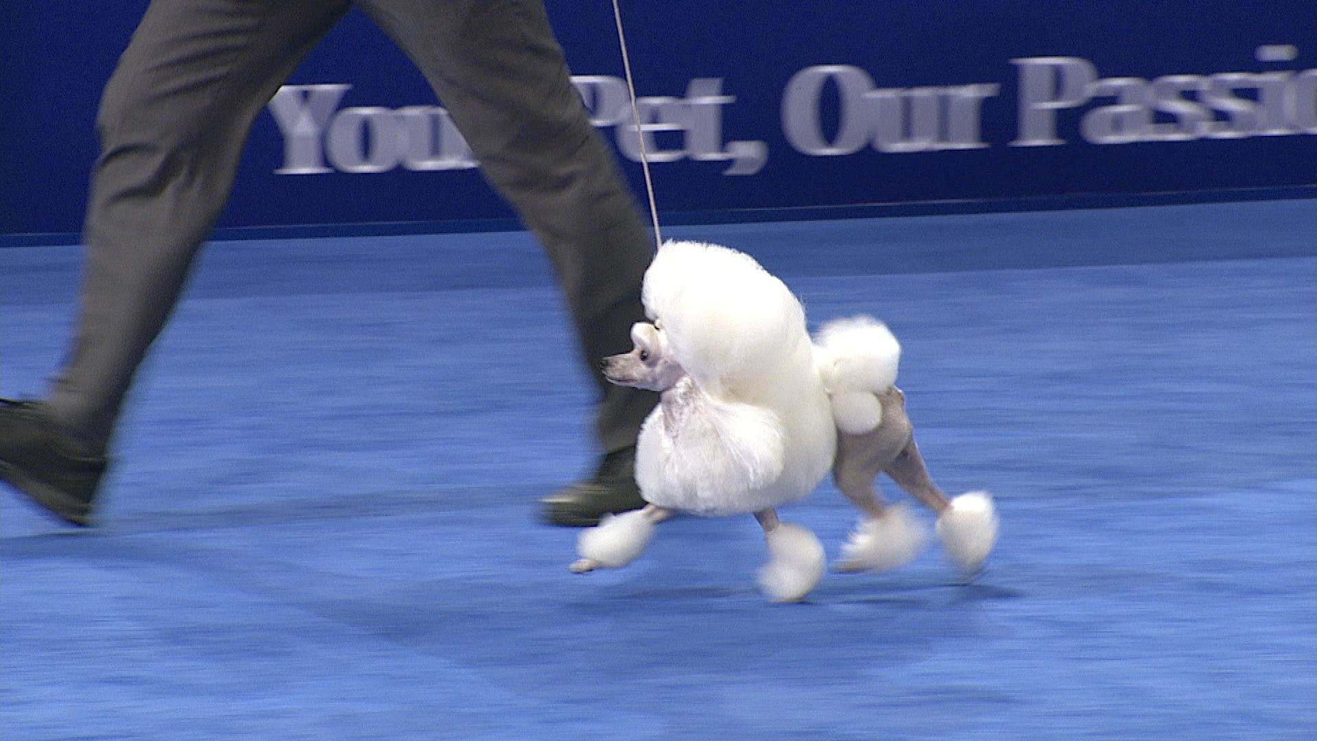Toy Poodle 2018 National Dog Show Toy Group Nbc Sports