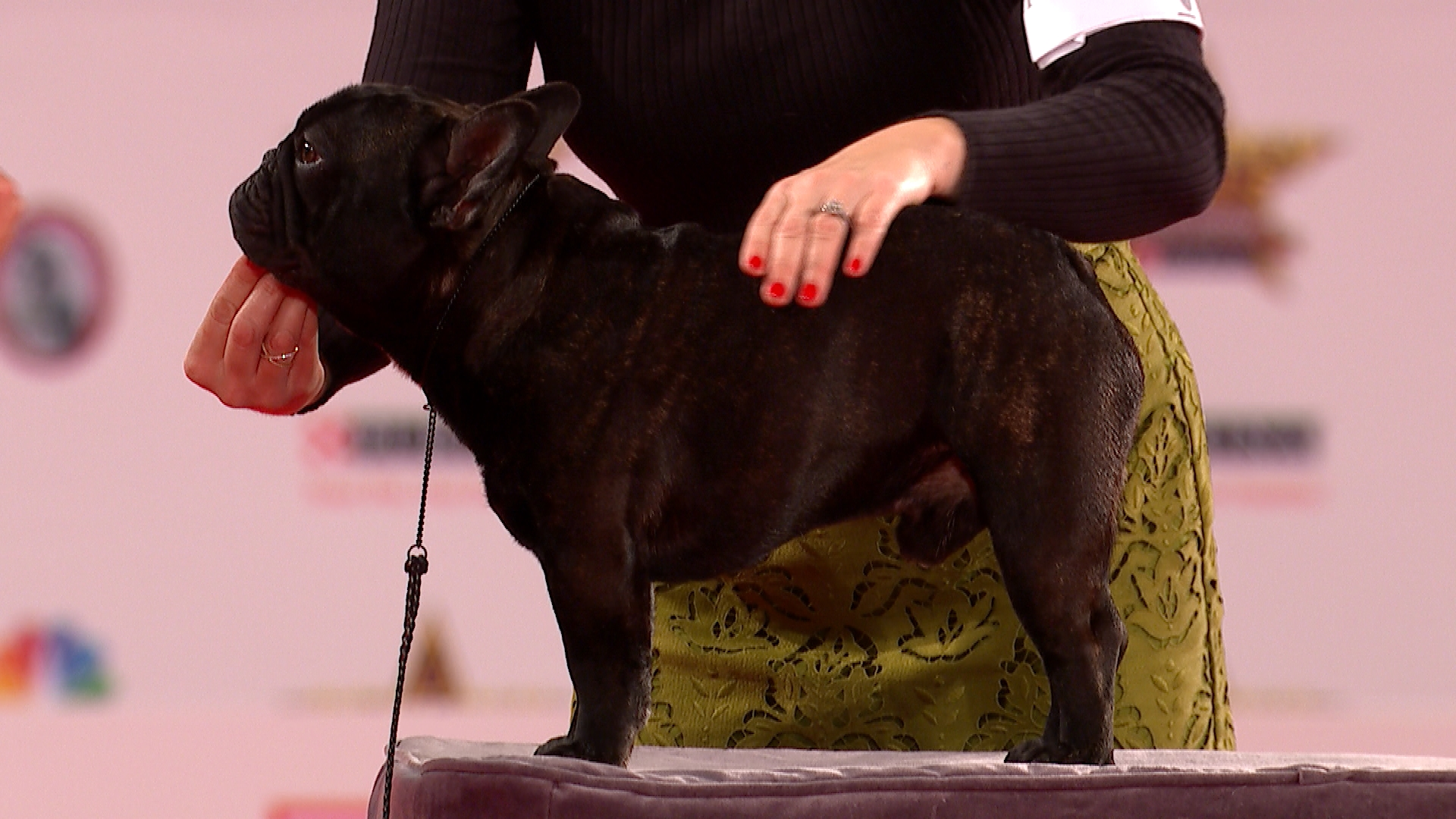 Beverly Hills Dog Show 2020.French Bulldog 2019 Beverly Hills Dog Show Non Sporting
