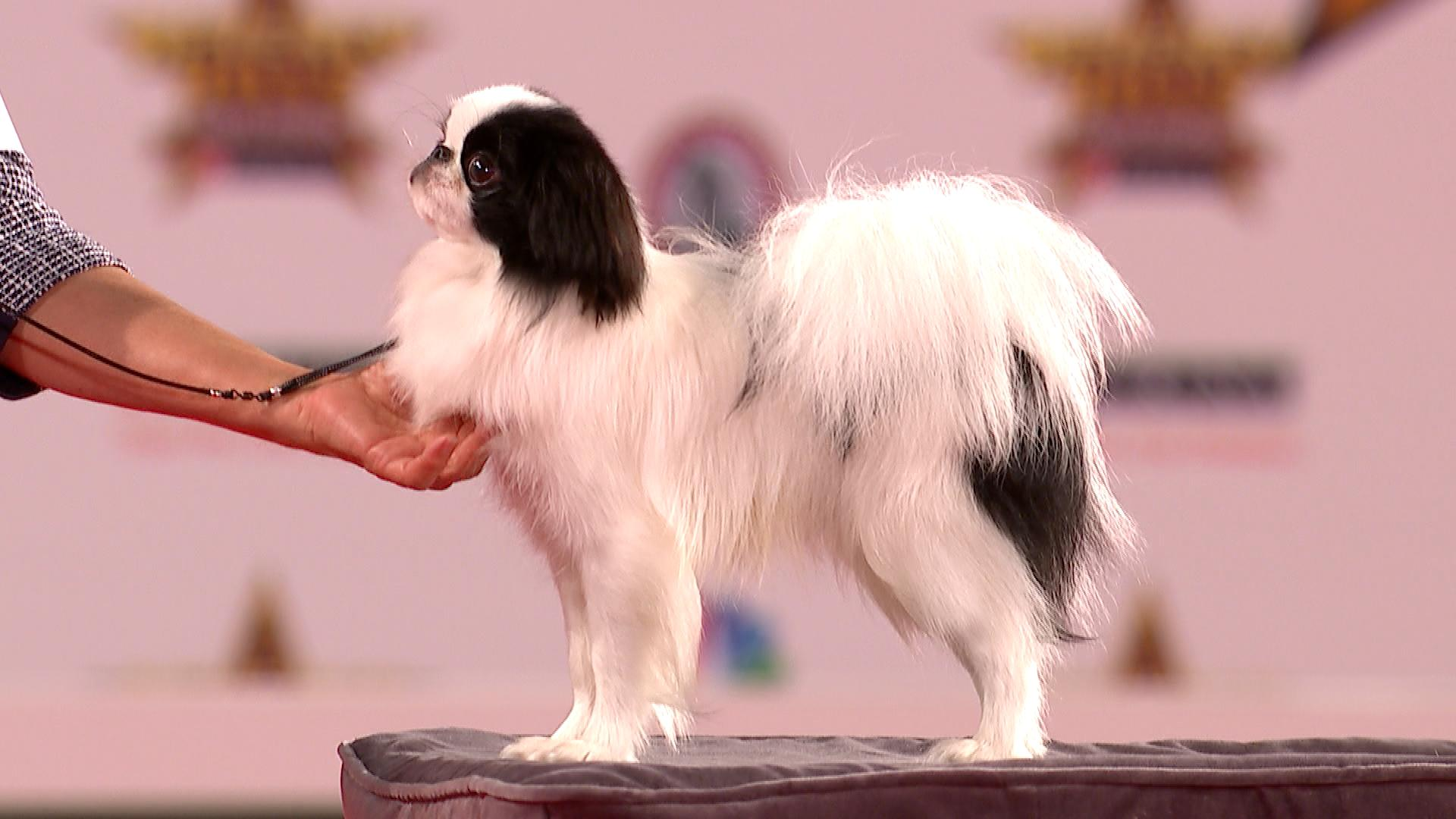 Japanese Chin, 2019 Beverly Hills Dog Show, Toy Group | NBC