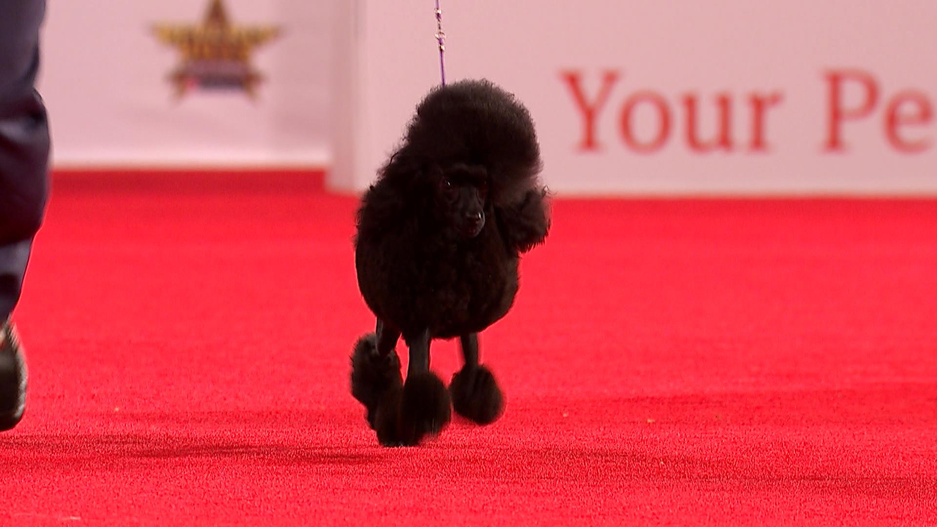 Toy Poodle 2019 Beverly Hills Dog Show Toy Group Nbc Sports