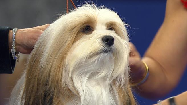 National Dog Show-Havanese, 2017 Toy Group   NBC Sports