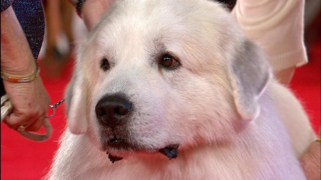 Beverly Hills Dog Show Great Pyrenees 2018 Working Group Nbc Sports