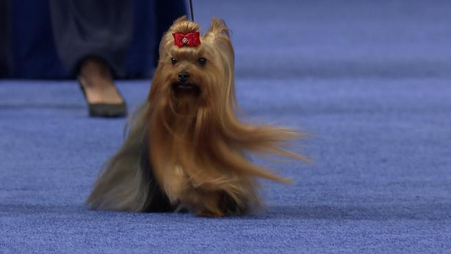 Yorkshire Terrier 2019 National Dog Show Toy Group Nbc Sports